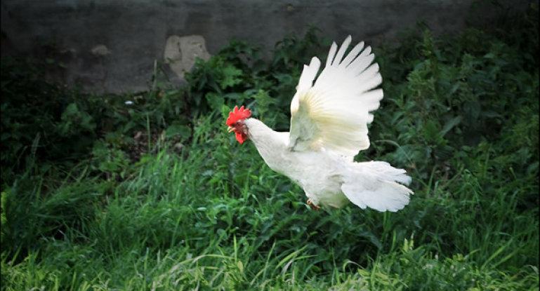 Почему курицы не летают как птицы