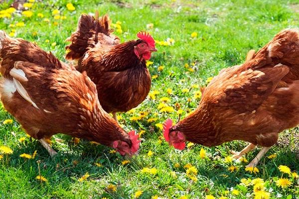 Витамины для кур повышающие яйценоскость