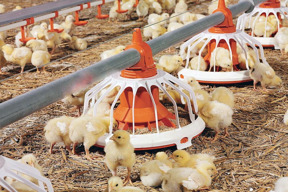 особняк картинки зерен для цыплят является одной