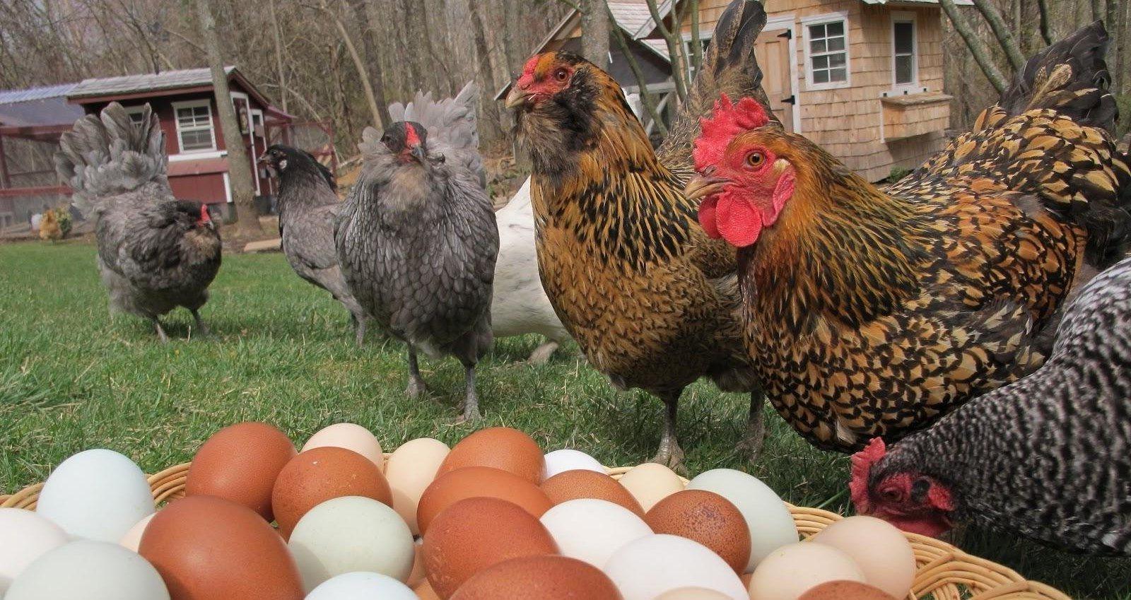 Какие куры какие яйца несут и у каких они самые вкусные