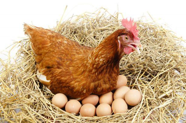 Cколько корма нужно курице несушке в день