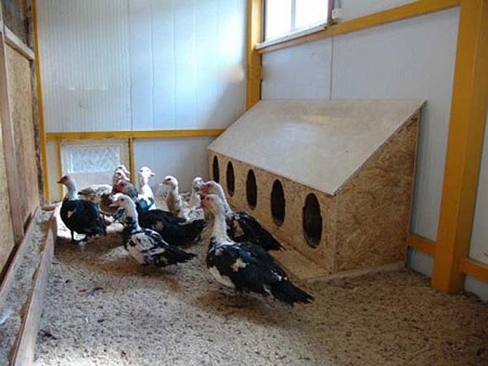 Барбарийская утка —что это за подвид, описание