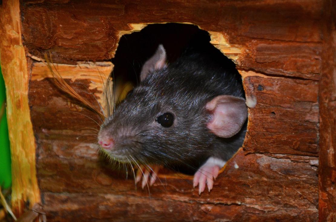 Как избавиться от крыс в курятнике навсегда народными средствами