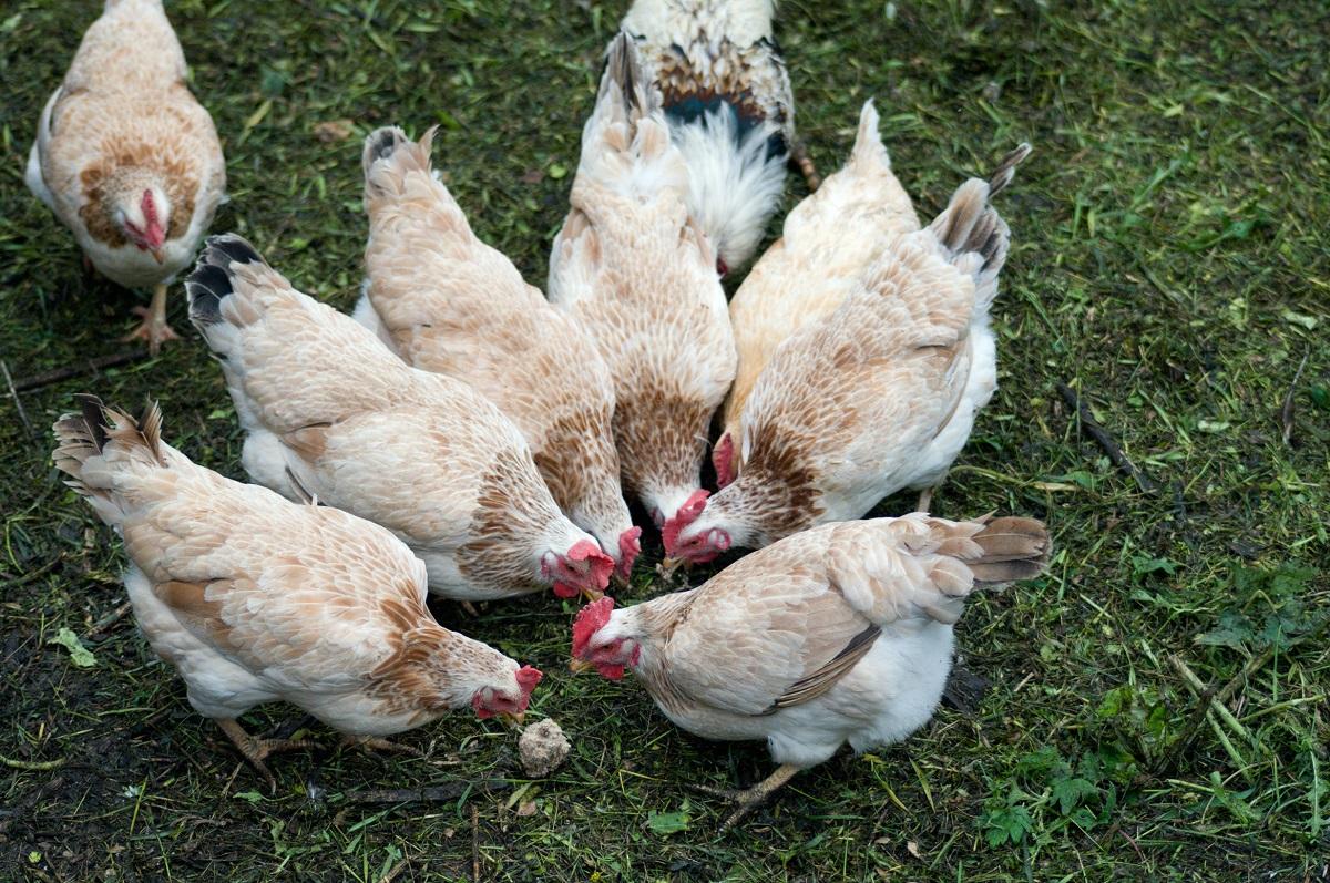 Загорская лососевая порода кур — разведение и выращивание