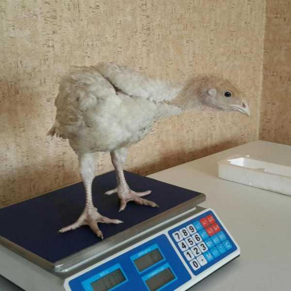 Сколько весит индюк: масса средней взрослой птицы
