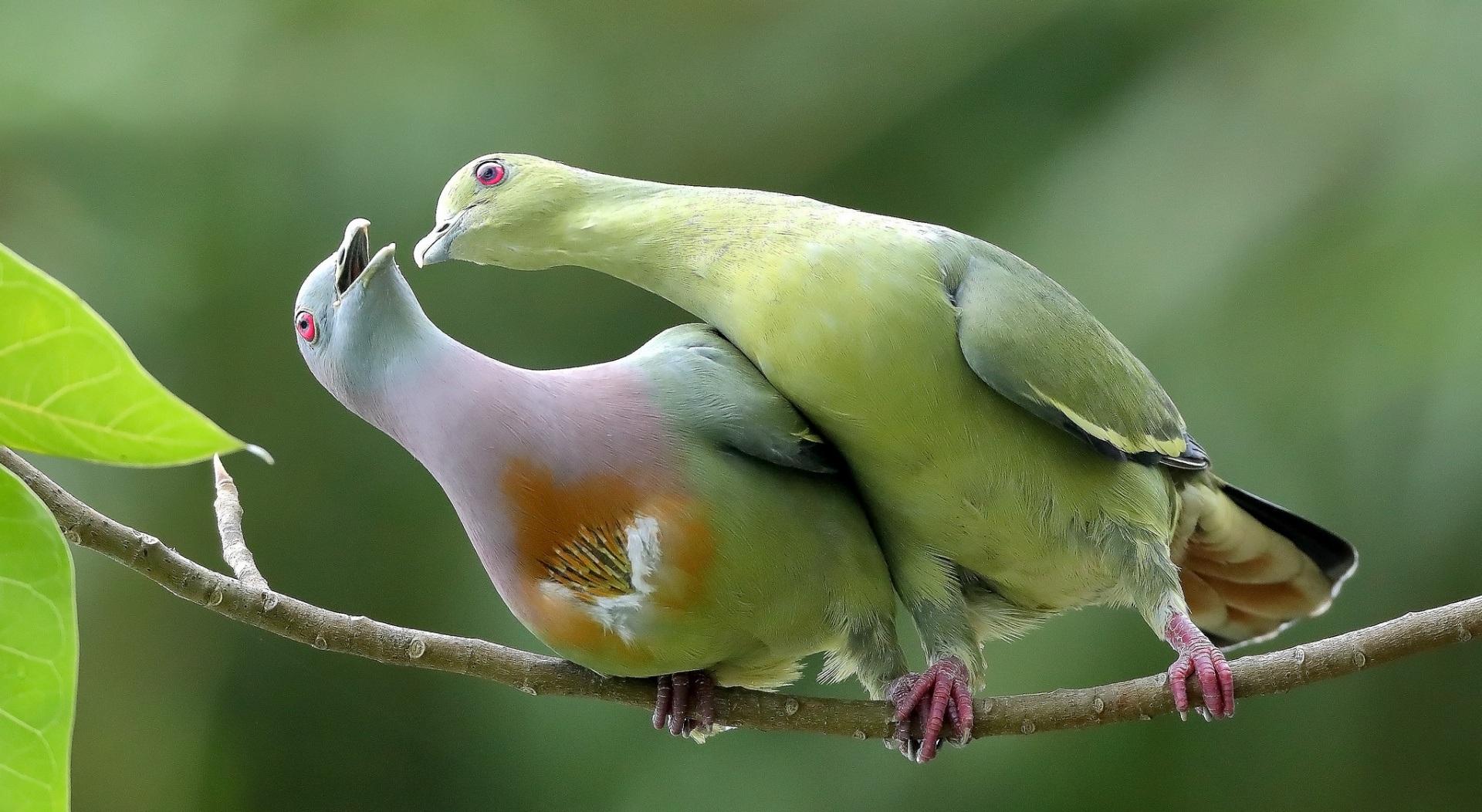 Японский зеленый голубь — характеристика породы