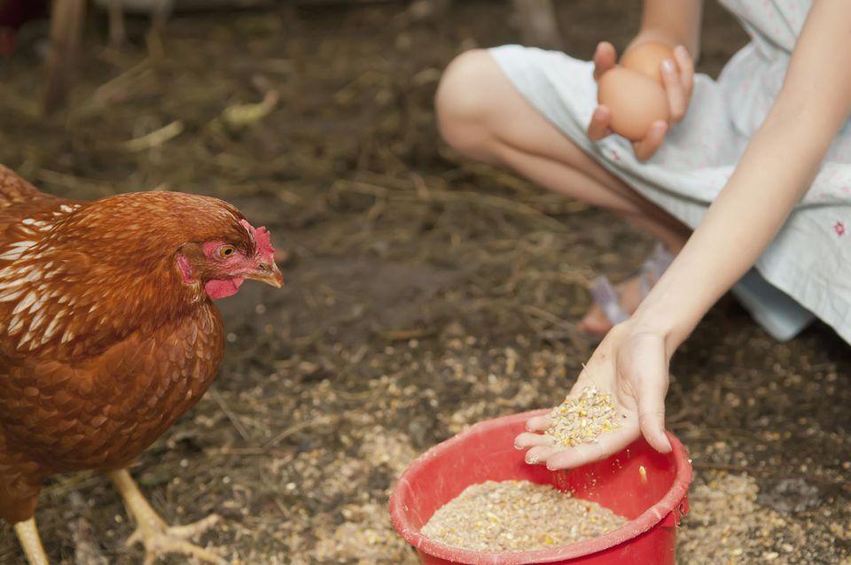 Дрожжевание кормов для кур в домашних условиях