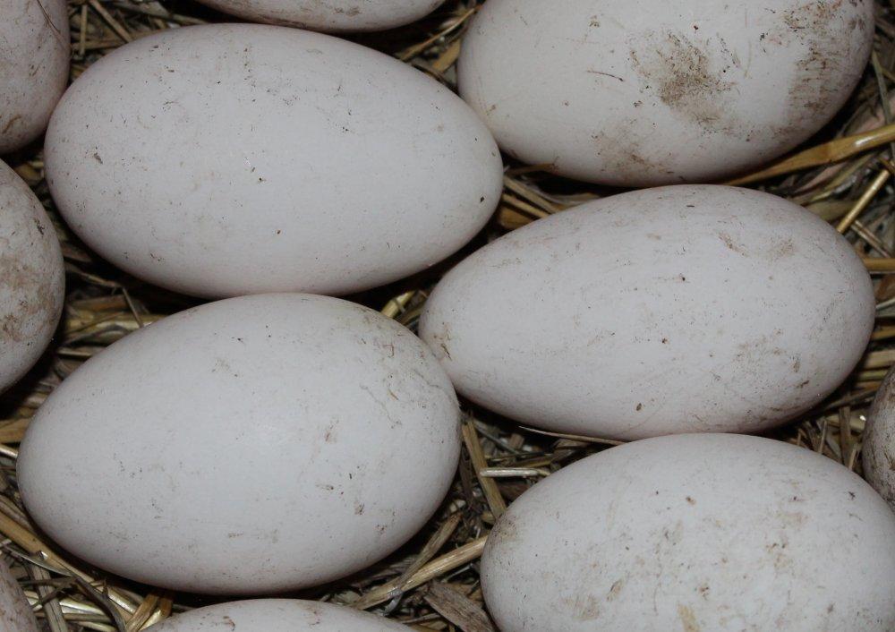 Серый гусь:  описание и содержание крупной породы