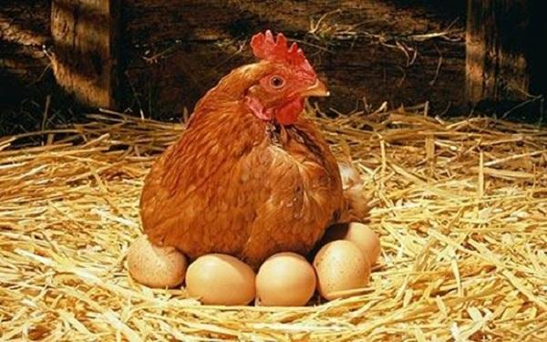 Курица кудахчет: как говорит и почему квохчет
