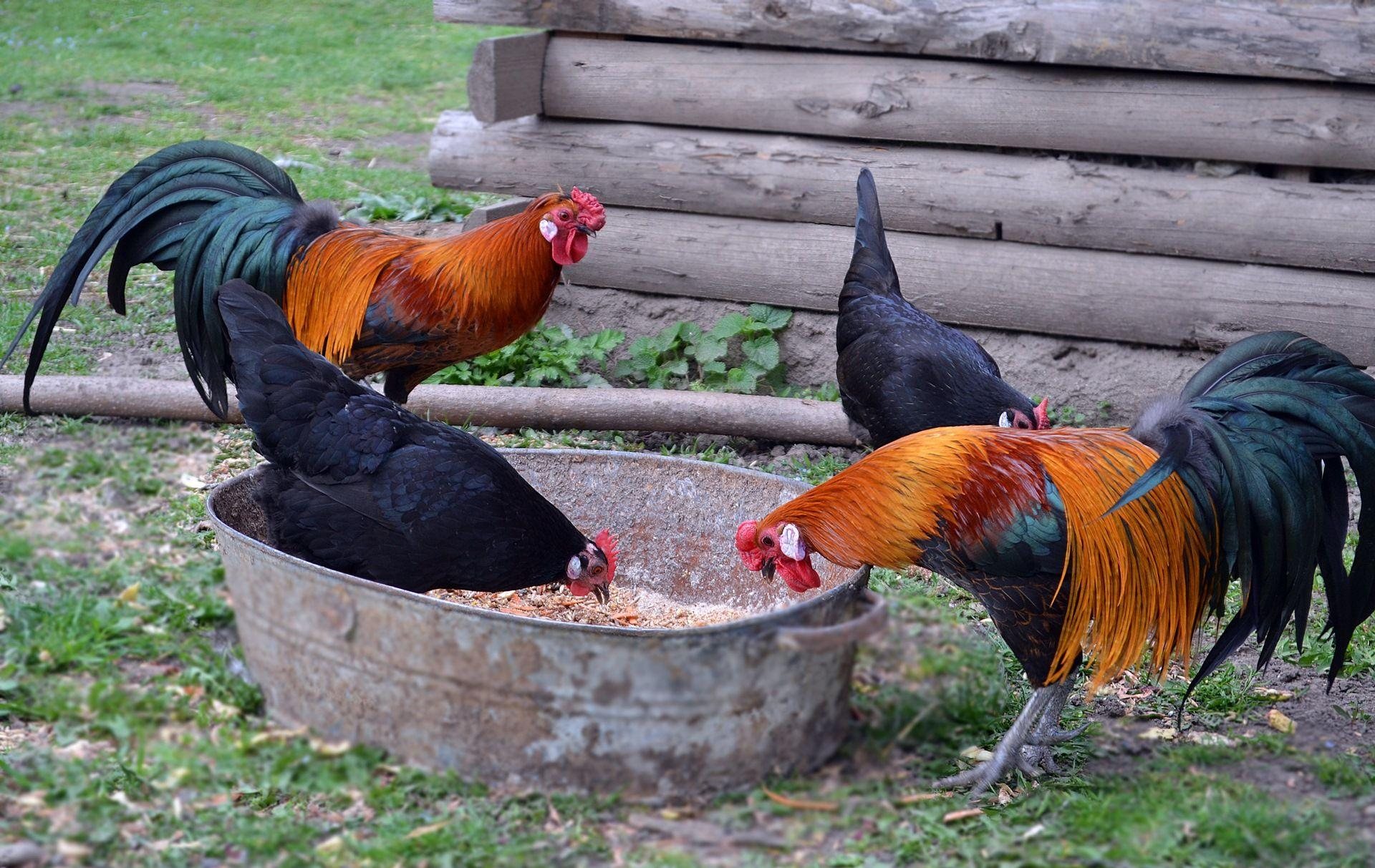 Куры и петухи: нужен ли он несушкам для яйценоскости