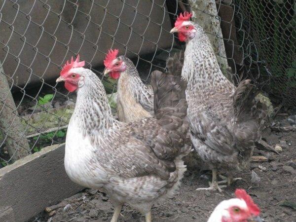 Борковская барвистая порода кур — как разводить и ухаживать