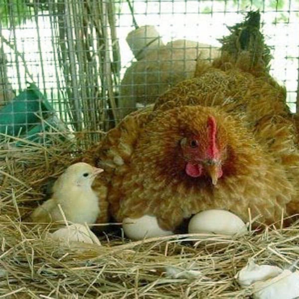 Кучинская юбилейная порода кур — содержание и уход