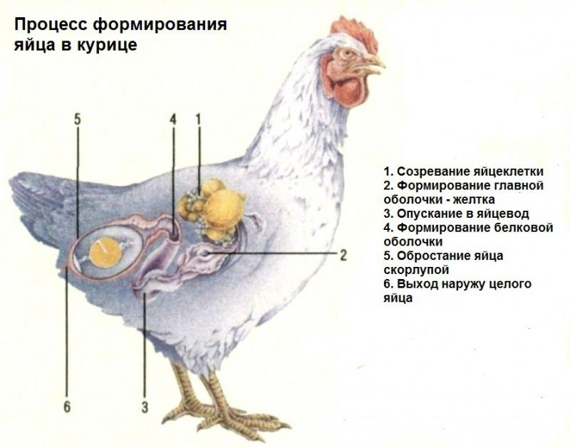Может ли курица нести яйца без петуха, и откуда они берутся