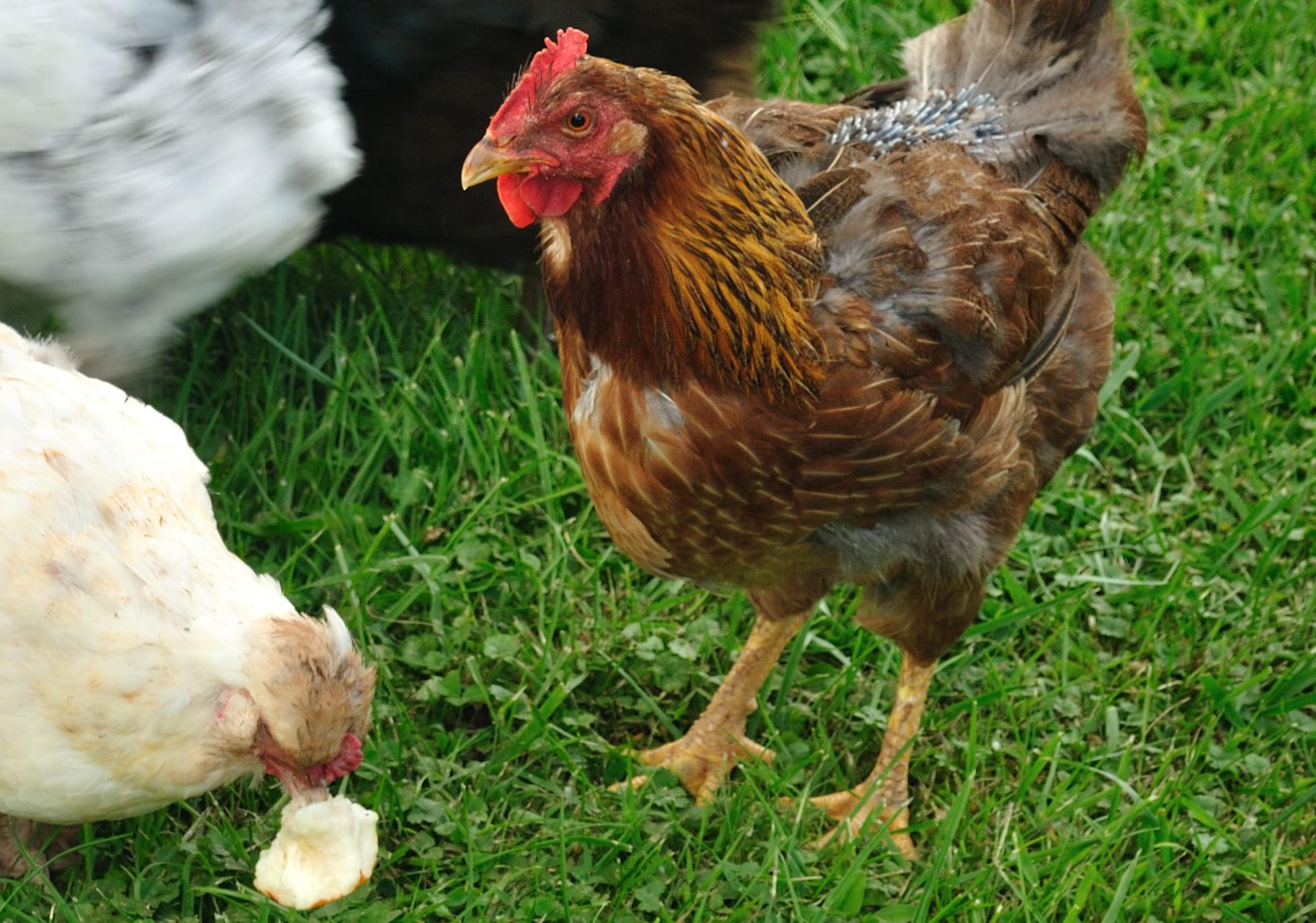 Лысая курица — почему это происходит