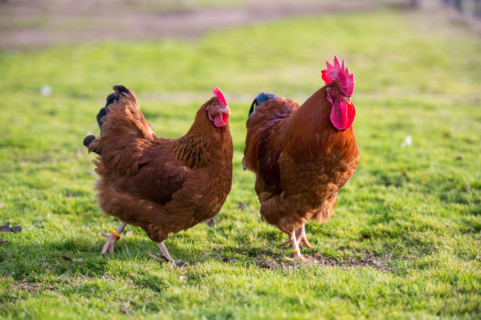 Нью-Гемпшир порода кур