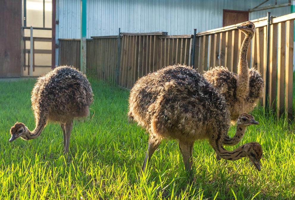 фото страусов в дом условиях призналась, что