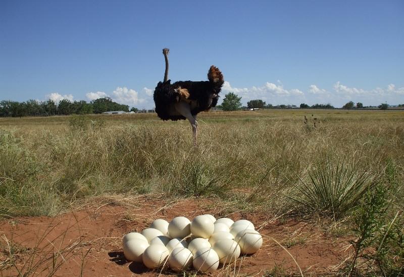Страусиное яйцо: размер и как выглядит в сравнении с куриным