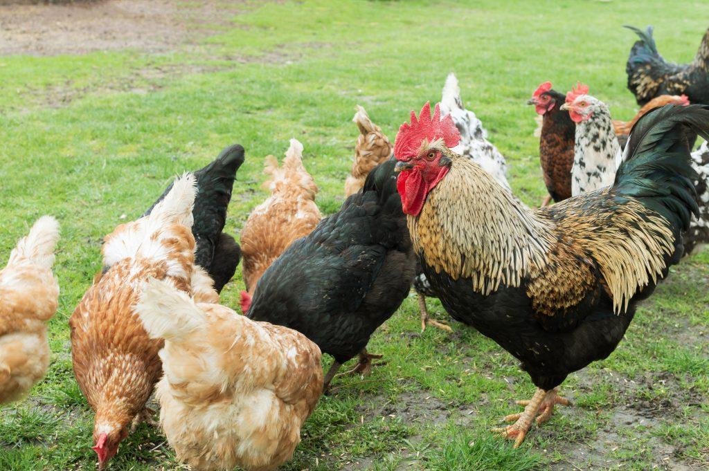 Как петух оплодотворяет курицу: схема размножения