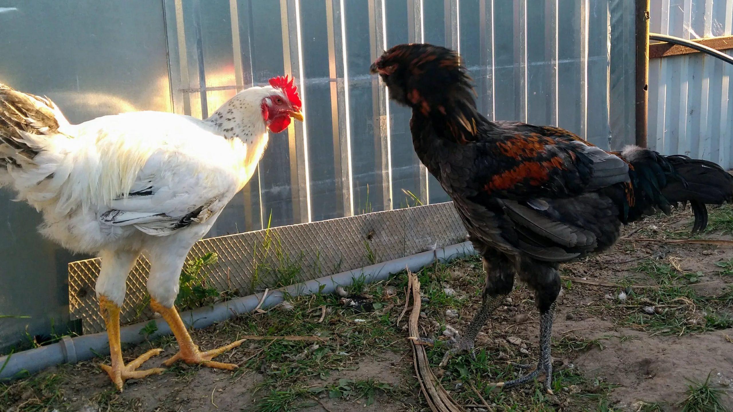 Гилянская порода кур — разведение и выращивание