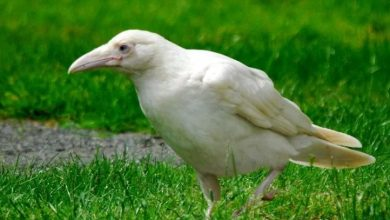 Photo of Белая ворона альбинос — существует ли в природе
