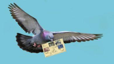 Photo of Почтовый голубь — история и описание вида
