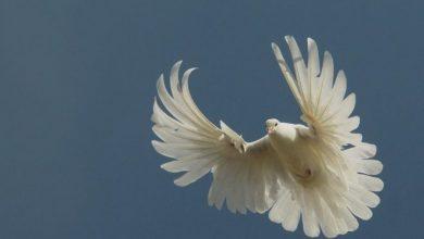 Photo of Серпастые голуби выворотные — описание породы