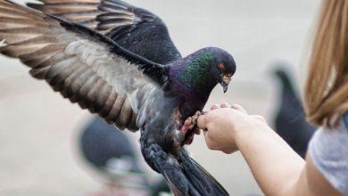 Photo of Чем кормить голубей — еда, минералы и витамины