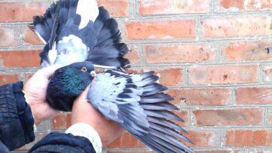 Photo of Николаевские голуби — особенности разведения