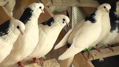 Photo of Пермские голуби — что это за порода