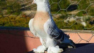 Photo of Турецкие голуби такла — что это за порода