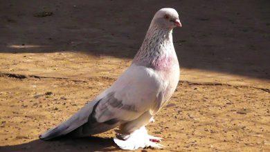 Photo of Бойные голуби — столбовые северокавказские породы