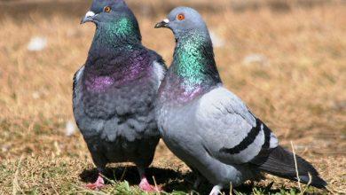 Photo of Сальмонеллез у голубей — симптомы и лечение болезни