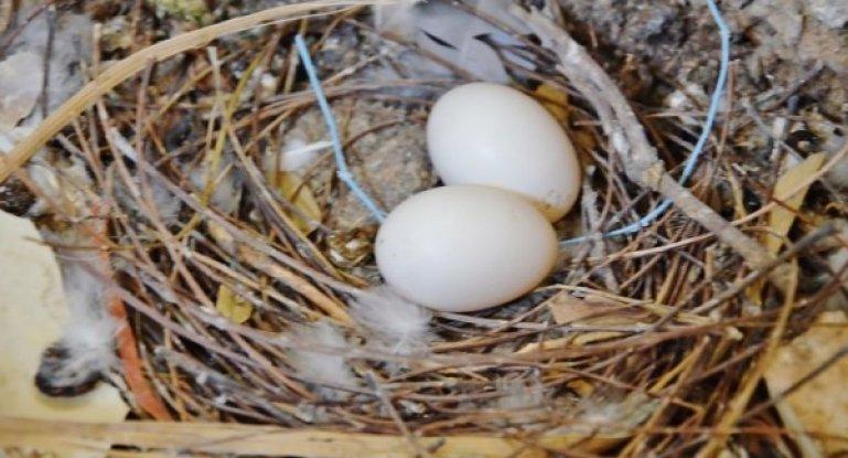 Сизый голубь- описание породы, фото