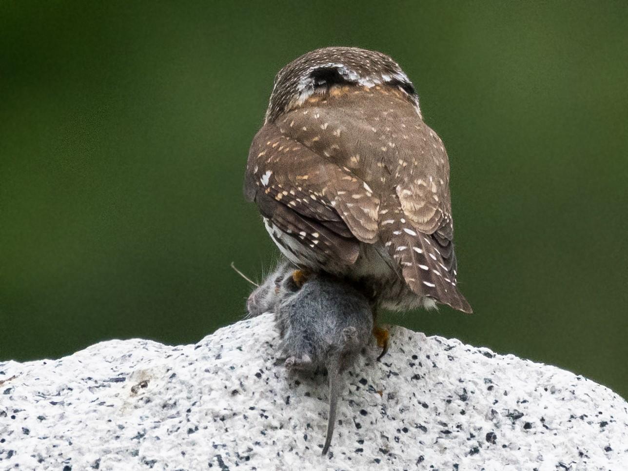 На сколько может поворачивается голова у совы и почему она ...