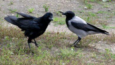 Photo of Ворон и ворона — в чем разница, как отличить птиц