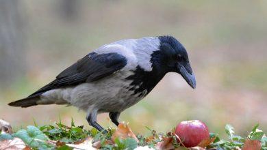 Photo of Серая ворона — как выглядит, сколько живет, поведение в природе