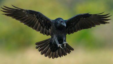 Photo of Домашний ворон — как приручить, содержать и кормить