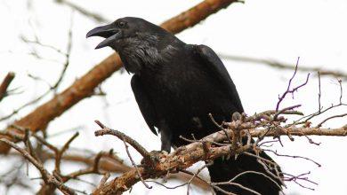 Photo of Вороны — сколько живут, где обитают, чем питаются, разновидности